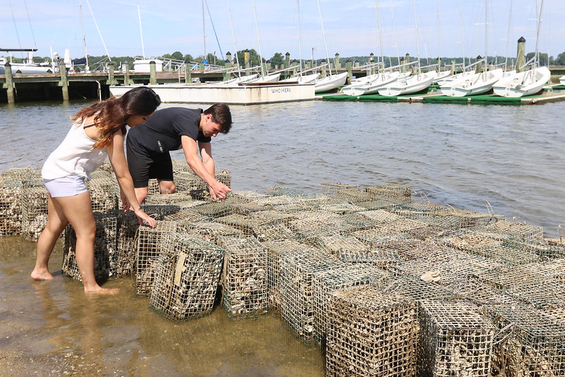 SMCM oyster bed project