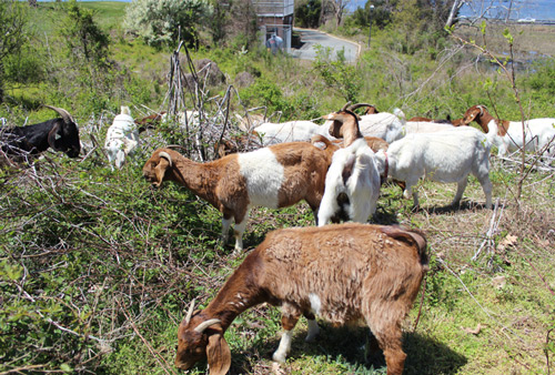 Picture of goats grazing on the St. Mary's campus