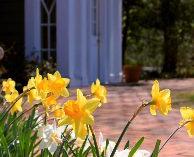 SMCM campus, Daffodils outside DPC