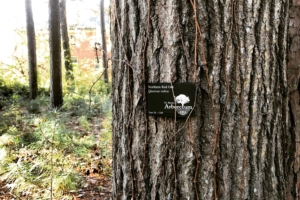 Northern Red Oak bark with Arboretum Tag