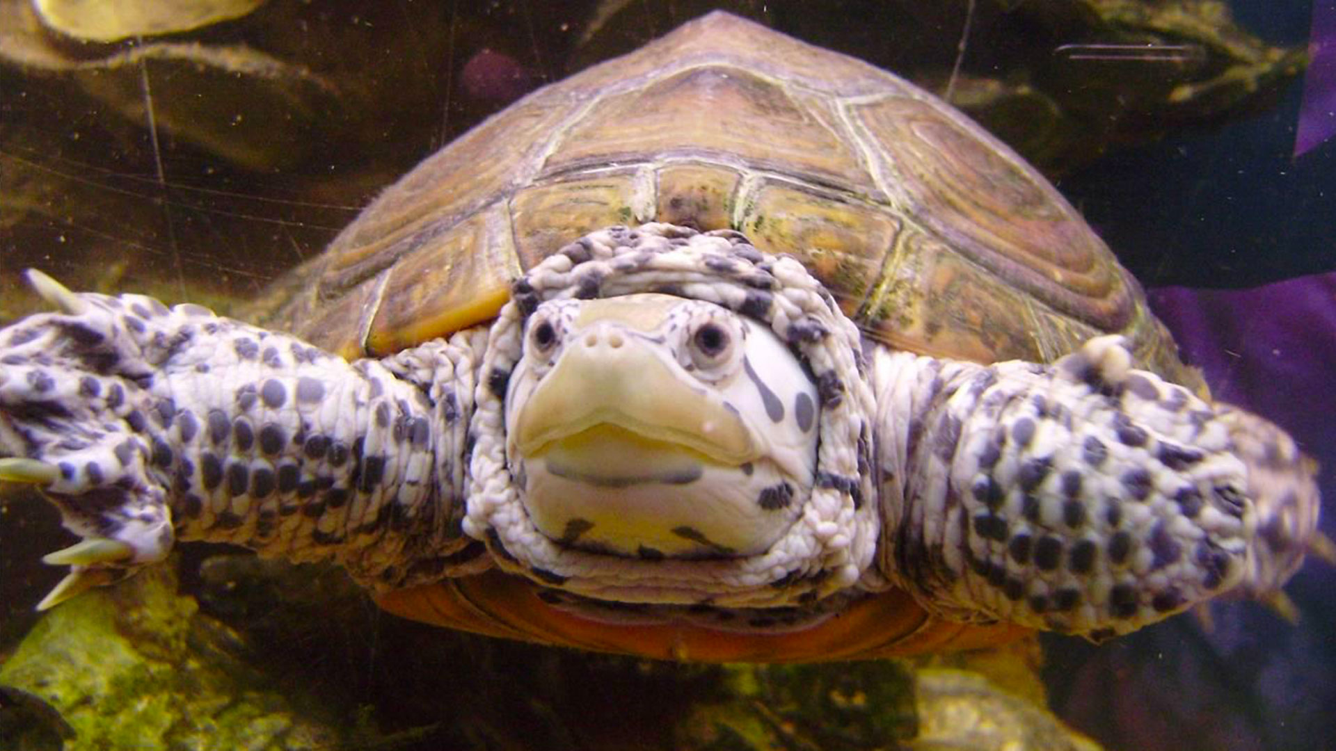 Close up photo of our resident terrapin, Izzy swimming in her tank.